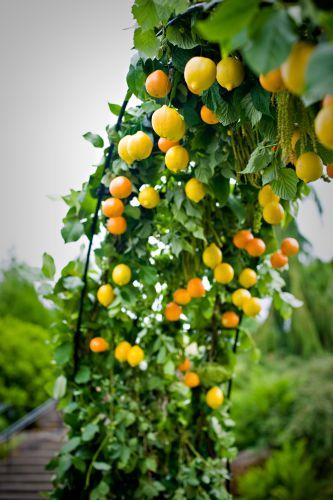 archway decorated with citrus, Oregon Gardens, Françoise Weeks